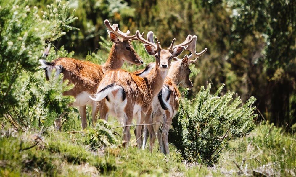 Deers looking towards the camera in the Tapada Nacional de Mafra